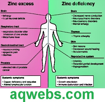 Zinc Importance in the Body